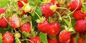 Kanserden koruyan meyve