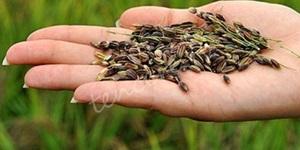 Yüksek antioksidan kaynağı siyah pirinç