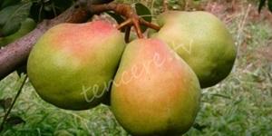 Armut meyvesinin faydaları!